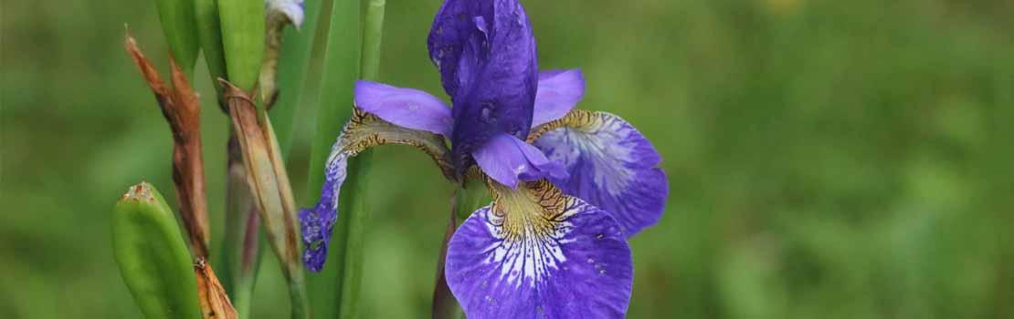 Tuinonderhoud tips augustus iris scheuren Hoefakker