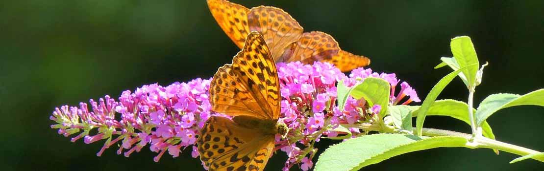 Tuinonderhoud tips juli plantenborder vlinderstruik