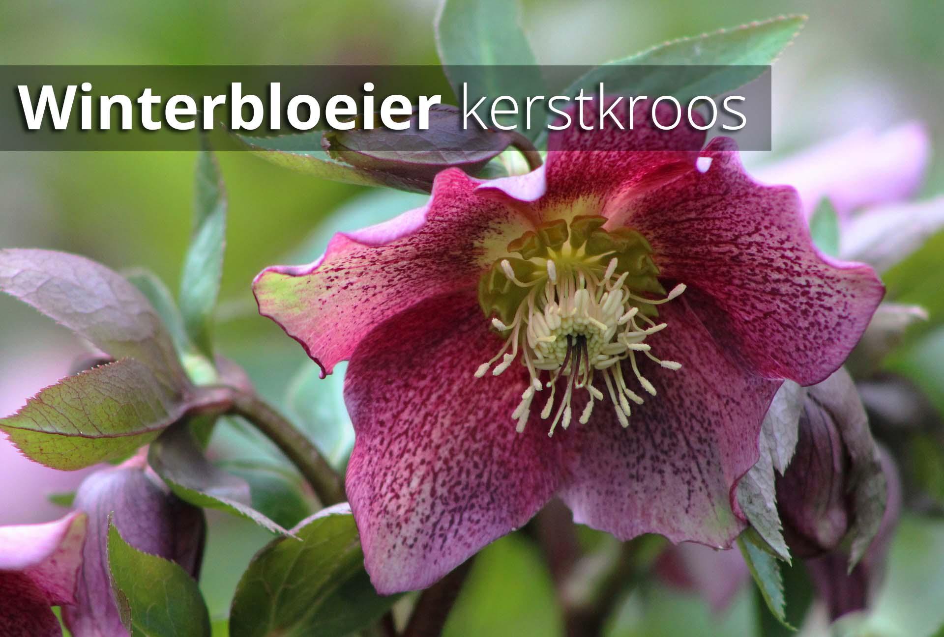 Hoefakker Tuinonderhoud september Plant winterbloeier kerstkroos