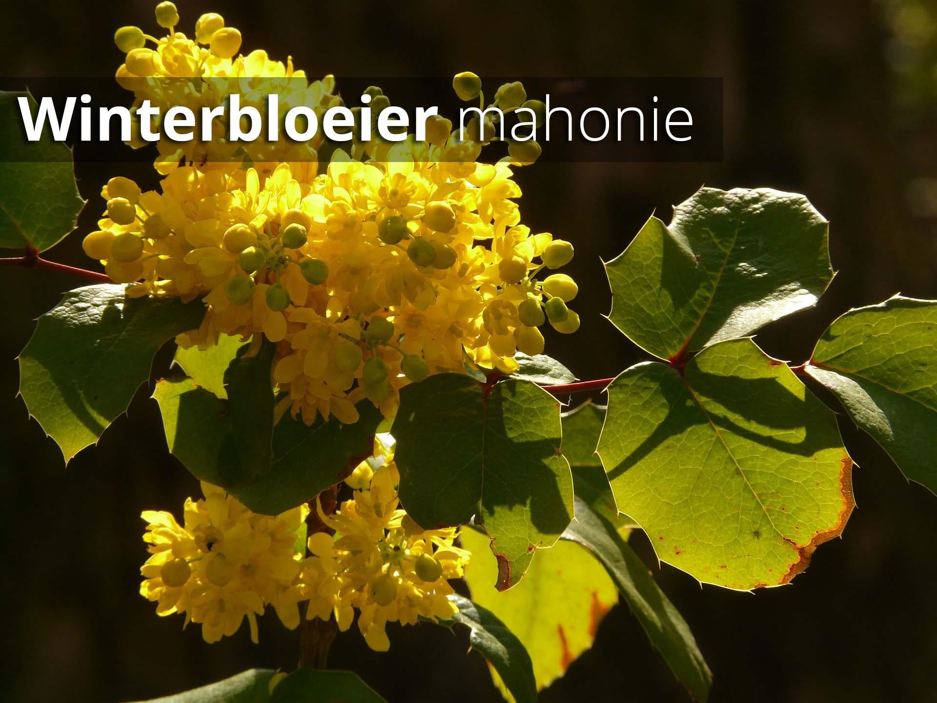 Hoefakker Tuinonderhoud september Plant winterbloeier mahonie