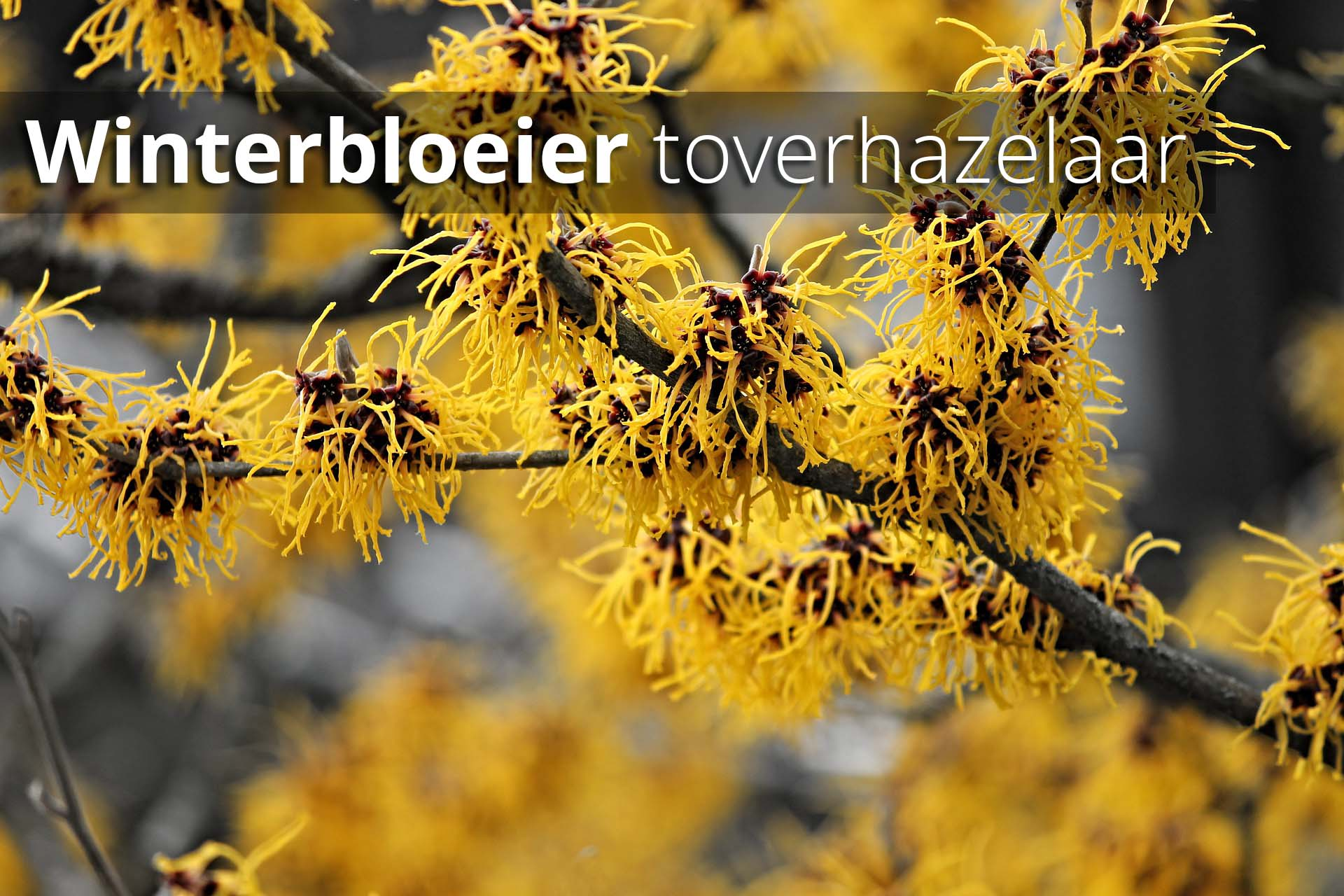 Hoefakker Tuinonderhoud september Plant winterbloeier toverhazelaar