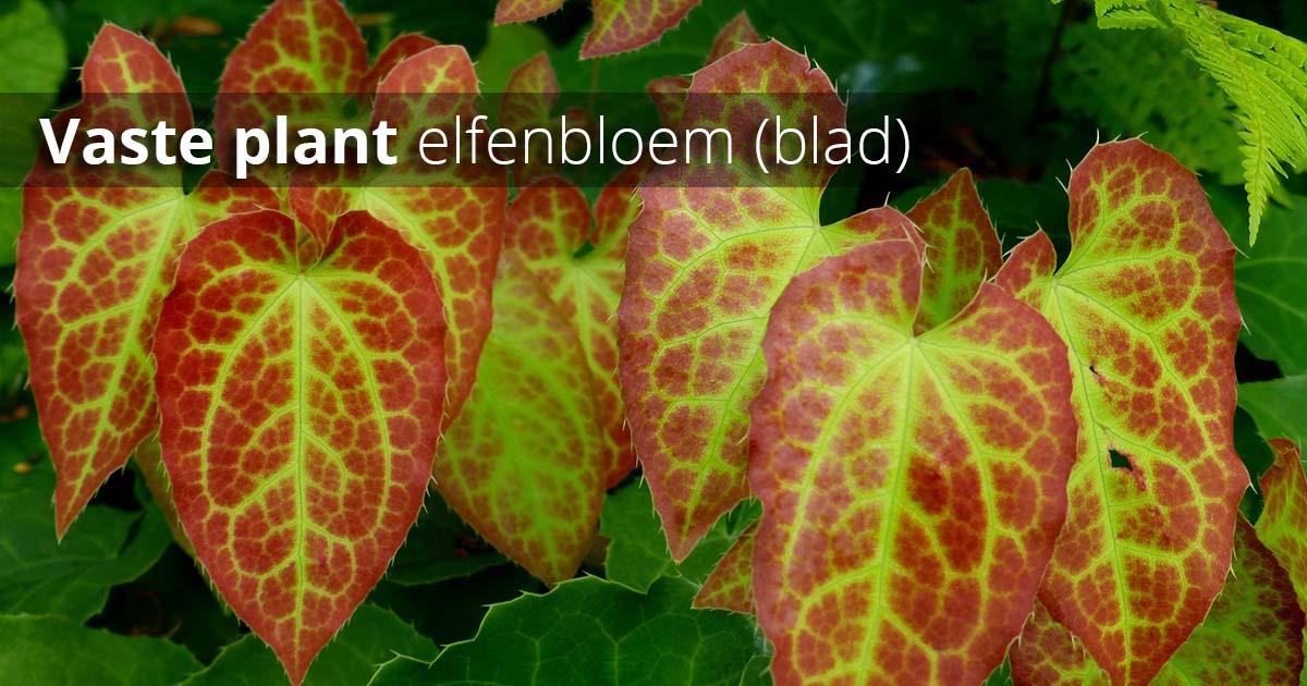 Hoefakker Tuinonderhoud september Vaste planten planten Elfenbloem