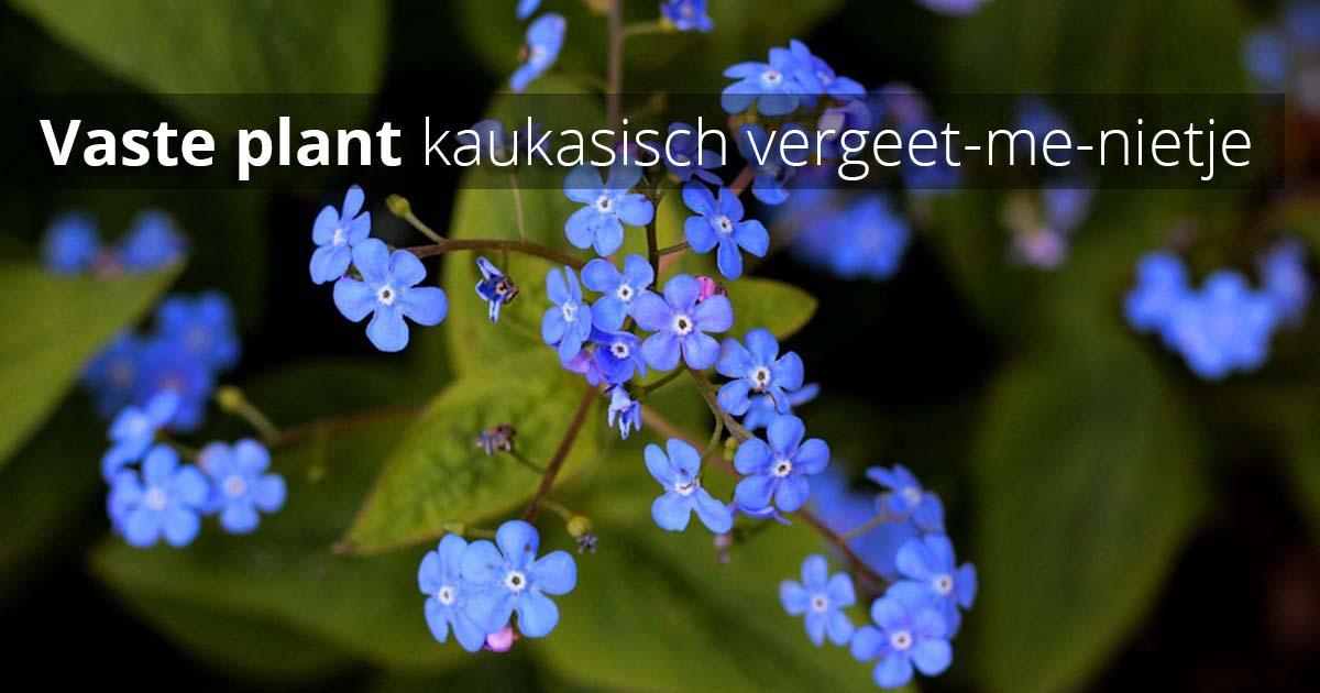 Hoefakker Tuinonderhoud september Vaste planten planten Kaukasisch vergeet-me-nietje