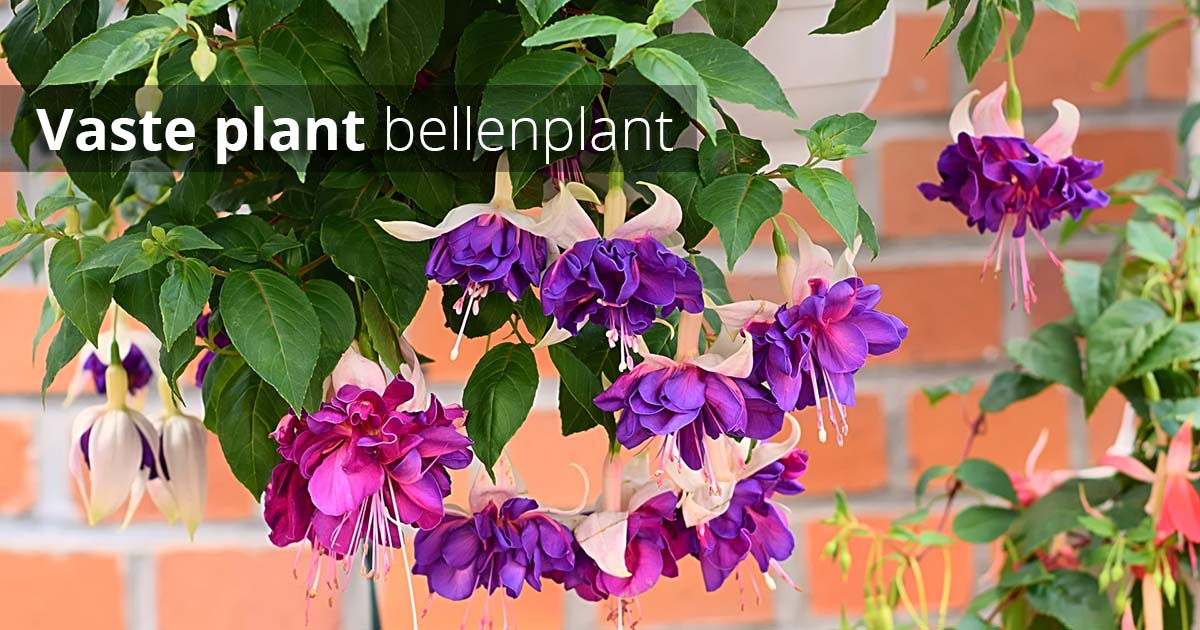 Hoefakker Tuinonderhoud september Vaste planten planten bellenplant