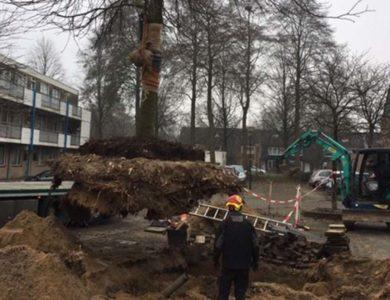 Hoefakker boomspecialisten verplanting rode paardenkastanje Veenendaal 2.