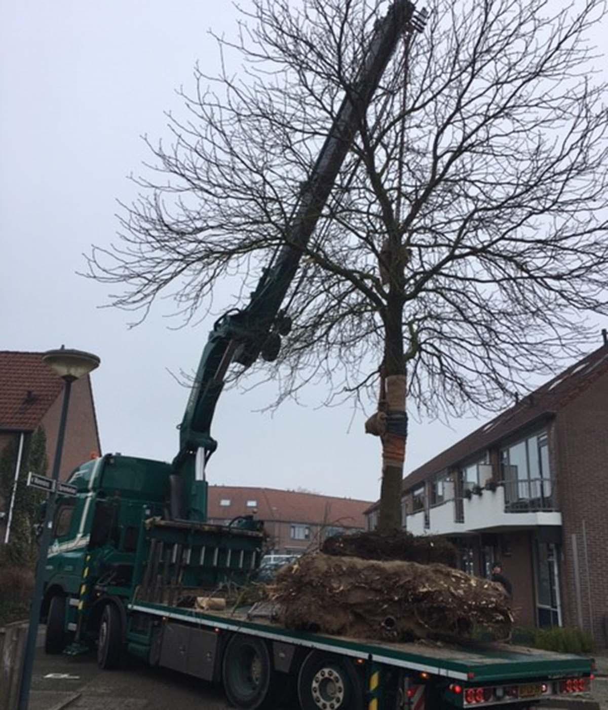 Hoefakker boomspecialisten verplanting rode paardenkastanje Veenendaal 3.