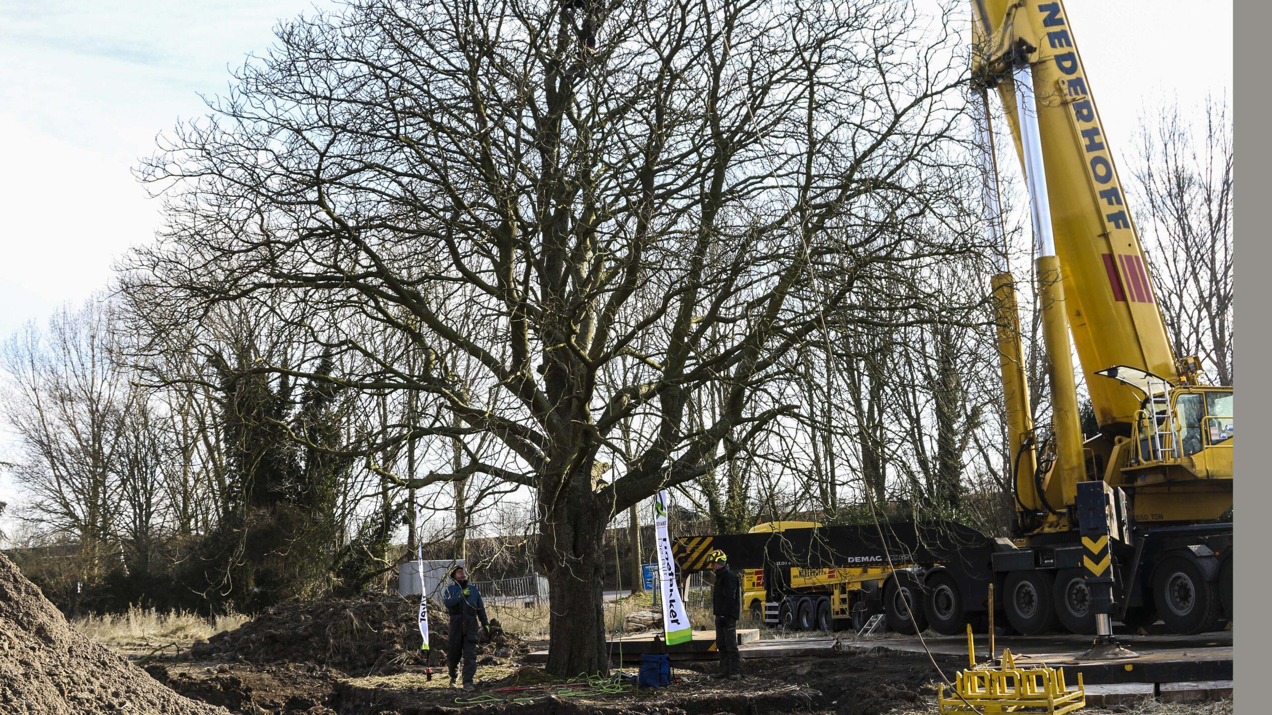 Hoefakker boomverplanting monumentale boom Breukelen